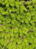 Het detail van de Thujaboom Stock Fotografie
