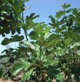 Het detail van de vijgeboom Stock Fotografie