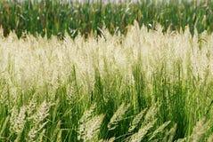 Het Detail van het gras Royalty-vrije Stock Afbeelding