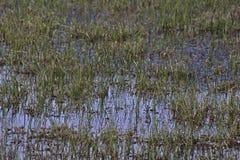 Het Detail van het moerasgras royalty-vrije stock fotografie