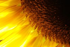 Het detailclose-up van de zonnebloem Stock Foto
