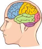 Het diagram van de hersenenanatomie met gesegmenteerd in verschillende kleuren royalty-vrije illustratie