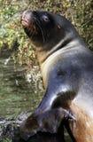 Het dichte omhoog bekijken van de zeeleeuw camera royalty-vrije stock fotografie
