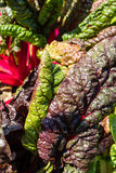 Het dichte omhoog donkerrode de kleur van het saladeblad stedelijke tuinieren Royalty-vrije Stock Foto