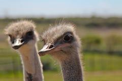 Het Dichte omhooggaande portret van de profielstruisvogel, Twee Dicht omhooggaand struisvogelhoofd met lange hals en grote ogen stock foto