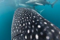 Het dichte omhooggaande portret van de walvishaai onderwater in Papoea Stock Foto's