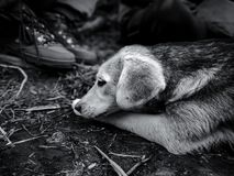 Het dichte omhooggaande portret van een onschuldige hond in zwart-wit royalty-vrije stock afbeelding