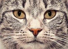 Het dichte omhooggaande portret van het kattengezicht Stock Foto's