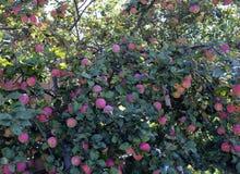 Het dieet, gezond voedsel, vitaminen, Apple, rood, Apple-boom, verse tuin, oogst, de herfst, fruit, fruitbomen, verscheidenheid,  stock fotografie