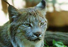 Het in dienst nemen Canadees Lynxportret Stock Afbeeldingen