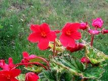 Het diepe beautfullrood bloeit een vroege regenachtige ochtend royalty-vrije stock foto's