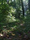 In het diepe bos na de regen Zon en groen, zomer Royalty-vrije Stock Fotografie