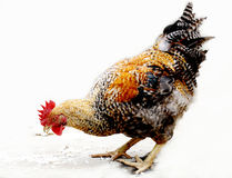 Het dier, de geacclimatiseerde kip, Stock Afbeeldingen
