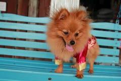 Het dier is honden geïsoleerd grappig binnenlands mooi Kerstmisportret van het studio leuk puppy Stock Foto