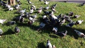Het dier van de de duifvrede van de markeringenvogel stock video