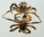 Het dier van de spingeleedpotige Royalty-vrije Stock Foto's