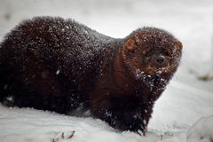 Het dier van de visser in sneeuw Stock Fotografie