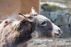 Het dier van het landbouwbedrijf - ezel Stock Foto's