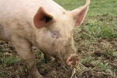 Het dier van het landbouwbedrijf - varken royalty-vrije stock foto