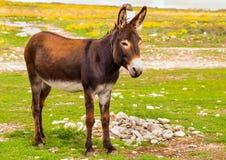 Het Dieren bruine kleur die van het ezelslandbouwbedrijf zich op gebiedsgras bevinden Stock Afbeeldingen