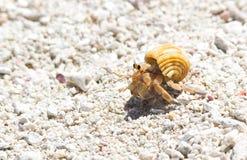 Het dierlijke leven De krab van de kluizenaar Stock Afbeelding