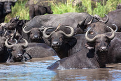 Het Dierlijke Wild Grote Vijf van de Waterpoel van de Kudde van buffels Stock Afbeeldingen