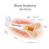 Het dijbeen stock illustratie