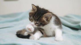 Het dikke pluizige katje wast zijn poot Leuk weinig katje de kattenconcept van het katjeshuisdier stock videobeelden