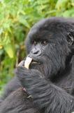 Het dinertijd van de gorilla Royalty-vrije Stock Afbeeldingen