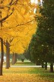 Het ditan park van Autumn Beijing, ginkgo Royalty-vrije Stock Afbeeldingen