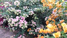Het Document van bougainvilleasoorten Bloem Plantae Stock Foto