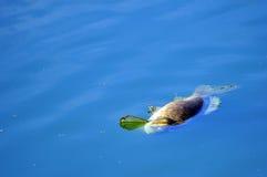 Het dode vissen drijven Stock Foto