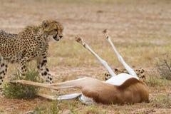 Het doden van de jachtluipaard Stock Foto