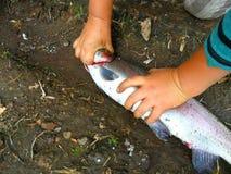 Het doden van een vis, forel stock afbeeldingen
