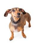 Het doen schrikken Kijken Tekkel Gemengde Rassenhond Status Stock Fotografie