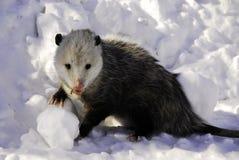 Het doen walgen Opossum Royalty-vrije Stock Afbeeldingen