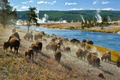 Het donderen van kudde van Amerikaanse Bizon Stock Foto's