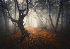Het donkere bos van de mist bos Mystieke herfst met sleep in gele mist Royalty-vrije Stock Afbeelding