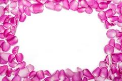 Het donkere roze bloemblaadje nam bloem op wit toe Stock Afbeeldingen
