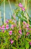 Het donkere roze Sier bloeien jewelweed installatie op de waterkant Stock Afbeelding