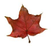 Het donkerrode blad van de de herfstesdoorn Royalty-vrije Stock Afbeelding