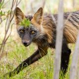 Het doordringen starende blik van een waakzame rode vossoort Vulpes Royalty-vrije Stock Afbeeldingen