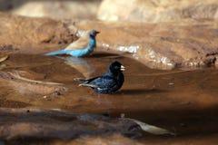 Het dorp indigobird en rood-cheeked cordonbleu Royalty-vrije Stock Fotografie