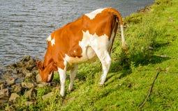 Het dorstige jonge koe drinken van het water van de rivier stock fotografie