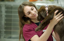 Het dragen van een leuk bruin laboratoriumpuppy bij de dierenarts Royalty-vrije Stock Foto's