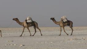 Het dragende zout van de kamelencaravan in de Woestijn van Afrika ` s Danakil, Ethiopië stock footage