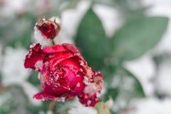 Het drama nam in de tuin van de de wintersneeuw toe royalty-vrije stock foto