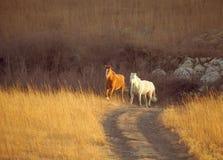 Het draven van paarden royalty-vrije stock afbeeldingen