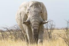Het dreigen van de olifant Stock Afbeeldingen