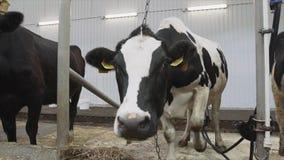 Het drie het melken koeienverblijf in boxen en kauwt hun voedsel op camera stock videobeelden